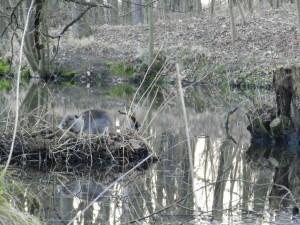 nutrie v novém vydřím rybníku